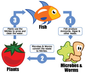 Aquaponics System: Rear Fish and Grow Plant Food at Low Cost